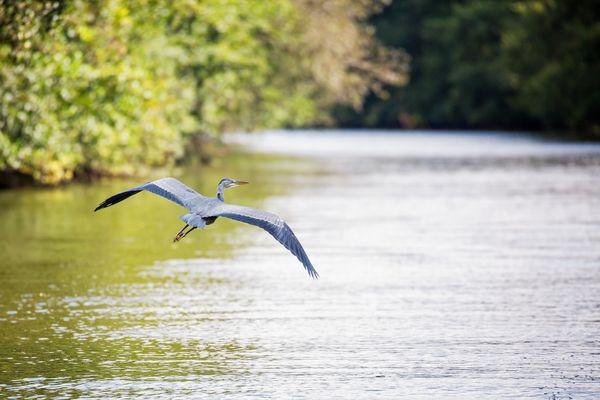 Fischreiher, Foto: Florian Läufer