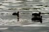Blesshühner auf dem Werlsee Grünheide, Foto: Wenke Mellmann