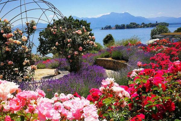 Rosenblüte im Hofanger