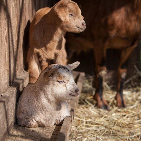 Die Besucher können sich auf zahlreiche Tiere alter Rassen freuen: Im Freilichtmuseum Vogtsbauernhof leben zum Beispiel Hinterwälder und Vorderwälder Rinder, Deutsche Landschweine, Schwarzwälder Füchse, Schafe, Gänse Toulouser Färbung, Hühner, Hasen und Ziegen.
