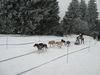 Die Huskys jagen beim Schlittenhunderennen in Haidmühle zum Ziel