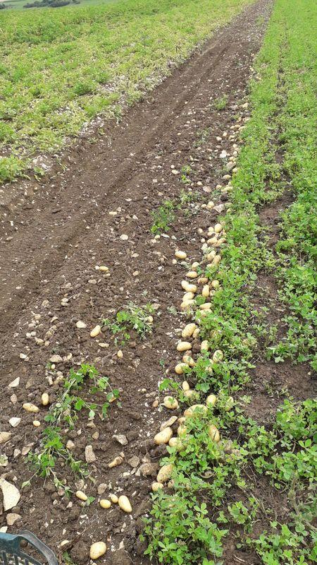 Kartoffeln von der Alb - Bild 1