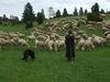 Schäfer mit Schafherde auf der Wacholderheide