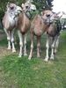 Alb Kamele