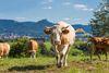 Kühe bei Bechtoldsweiler mit Burg Hohenzollern im Hintergrund