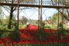Roter Tulpen-Teppich in Heidenheim