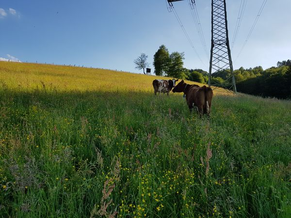 Kühe auf dem Bauernhof Bühner