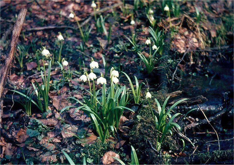 Blühendes Märzenbecher