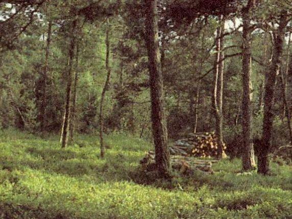 Föhren im Naturschutzgebiet Moorwald bei Kirchl-Wolfau