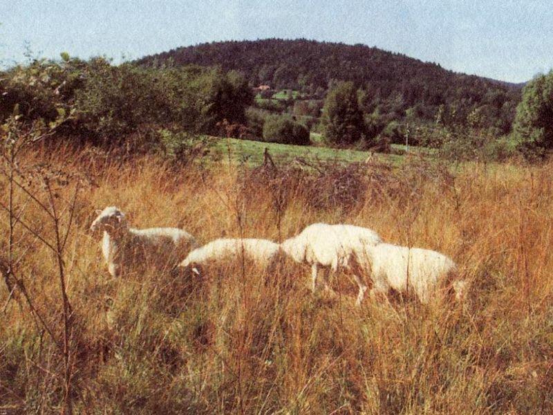 Schafe im Naturschutzgebiet Moorwald bei Kirchl-Wolfau in der Gemeinde Hohenau