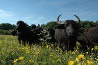 Albbüffel auf der Weide