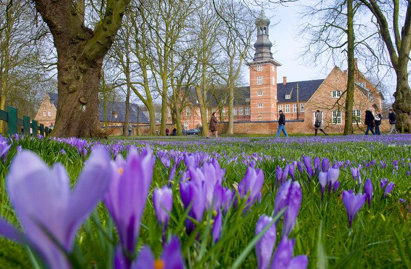 Die berühmte Husumer Krokusblüte im Schlosspark
