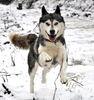 Lauffreude pur bei unseren Siberian Huskys