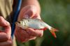 Rotweder Weißfisch, Foto: Florian Läufer