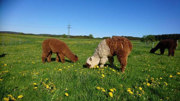 Alpakas auf den grünen, weitläufigen Wiesen