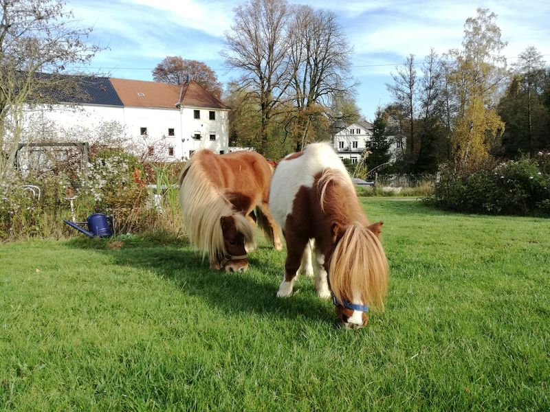 Zutrauliche Ponys gibt es auf dem Ponyhof