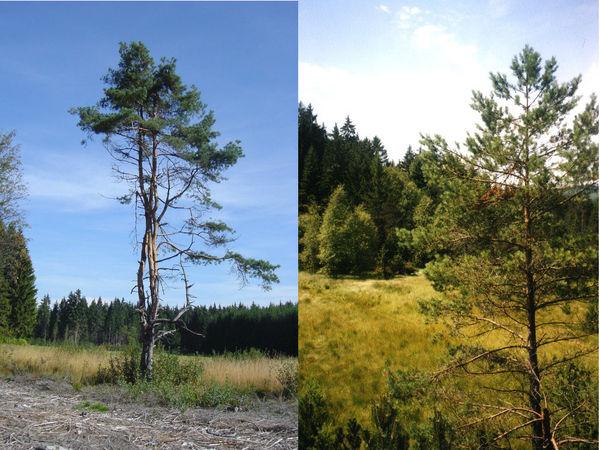 Typische Moorbäume finden Sie in der Todtenau und den umgebenden Auen