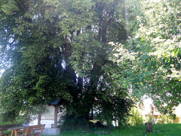 Das Naturdenkmal Euschertsfurther Linde im Lallinger Winkel