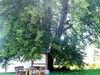 Faszinierend ist das Naturdenkmal Euschertsfurther Linde im Lallinger Winkel