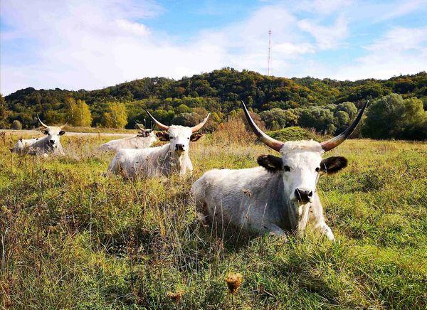 """Ochsen """"Oxen"""" in der Ochsenau im Landkreis Landshut"""
