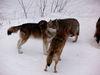 Wölfe im Tierfreigelände beim Haus zur Wildnis fühlen sich im Winter wohl