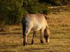 Przewalski-Urwildpferd im Tierfreigelände beim Haus zur Wildnis