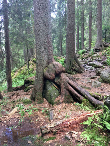 Bizarre Baumformen im Urwaldgebiet Höllbachspreng