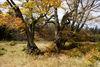 Alte Buchen im Herbst auf dem Rindl-Schachten