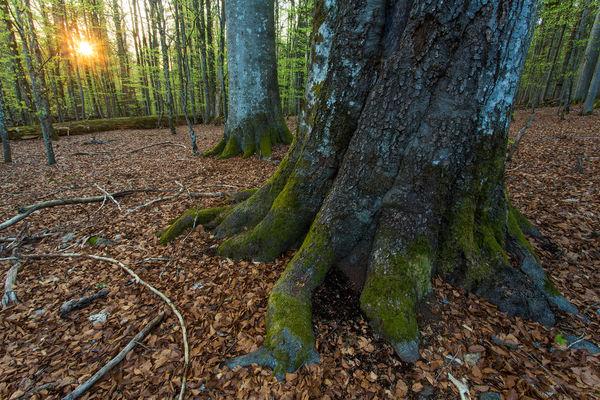 Buche im Urwaldgebiet Mittelsteighütte