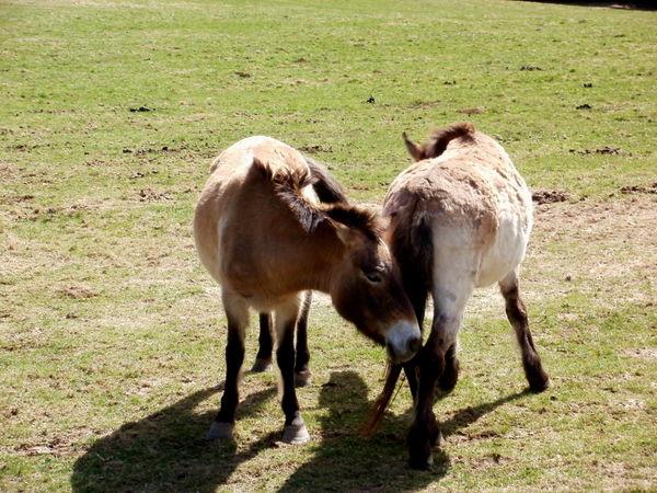 Wildpferde im Tierfreigelände im Nationalparkzentrum Falkenstein bei Ludwigsthal