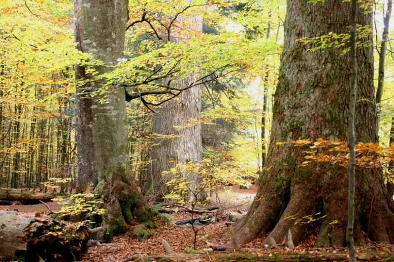 Mischwald am Urwalderlebnisweg Hans-Watzlik-Hain