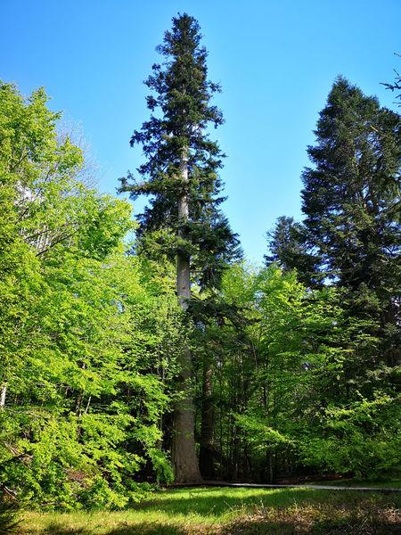 Im Hans-Watzlik-Hain gibt es imposante Bäume und die stärkste Tanne im Bayerischen Wald