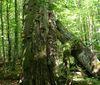 Von Moos und Pilzen bewachsene Bäume im Urwaldgebiet Mittelsteighütte