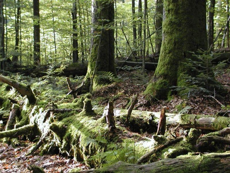 Totholz im Urwaldgebiet Mittelsteighütte