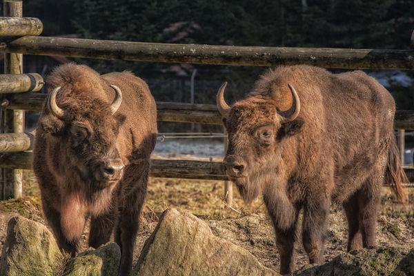 Beeindruckend: Wisent im Bayerwald-Tierpark Lohberg
