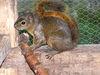 Aus Mittelamerika stammt das Costa-Rica-Hörnchen