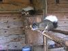 Europäische Eichhörnchen in der Hörnchen-Zuchtanlage in Lohberg
