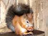 Aus Asien kommt das sibirische Eichhörnchen