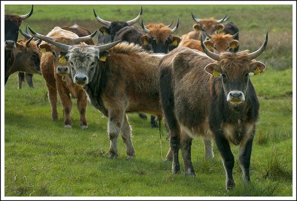 Eine Herde Heckrinder