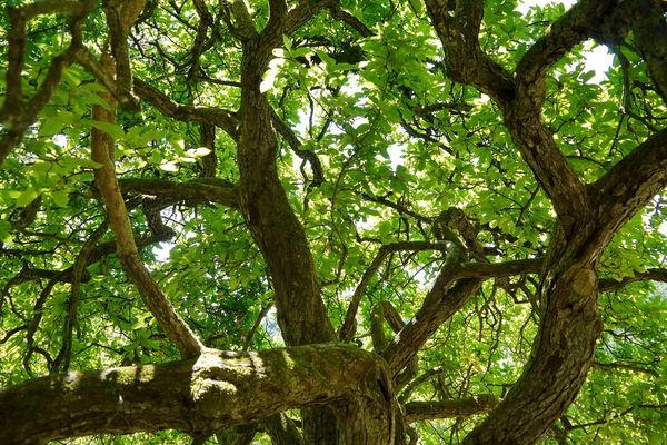Blick in die Baumkrone des Maulbeerbaumes