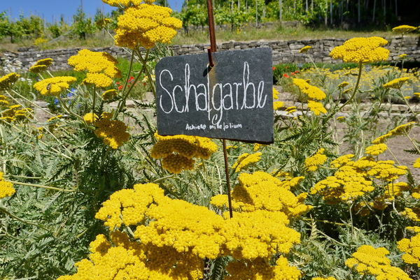 Scharfgarbe im Kräutergarten des Haus Lochfeld