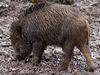 Wildschweine im Rheinauer Wald
