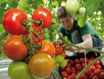 Tomaten von FONTANA Gartenbau GmbH, Foto: Patrick Pleul