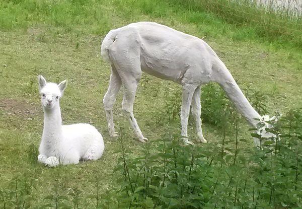 Alpakas im Albtal