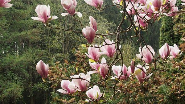 Magnolienbaum im Goldshauser Garten in Marzling