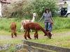 Die Reschbachtal-Alpakas bei den 24-Stunden von Bayern in Bayerisch Eisenstein