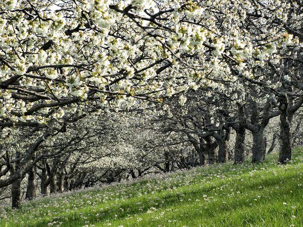 Kirschbaumblüte bei Mössingen