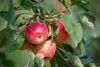 Äpfel in Müncheberg, Foto: Florian Läufer