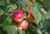 Äpfel am Baum, Foto: Florian Läufer, Lizenz: Seenland Oder-Spree