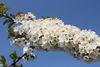 Apfelbaum in Blüte, Foto: Katrin Riegel, Lizenz: Seenland Oder-Spree